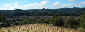 The vineyard at River Myst Haven, our farm in the Russian River Valley.