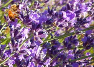 LavenderBees1