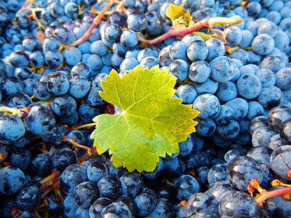 vineyard-grape-crush